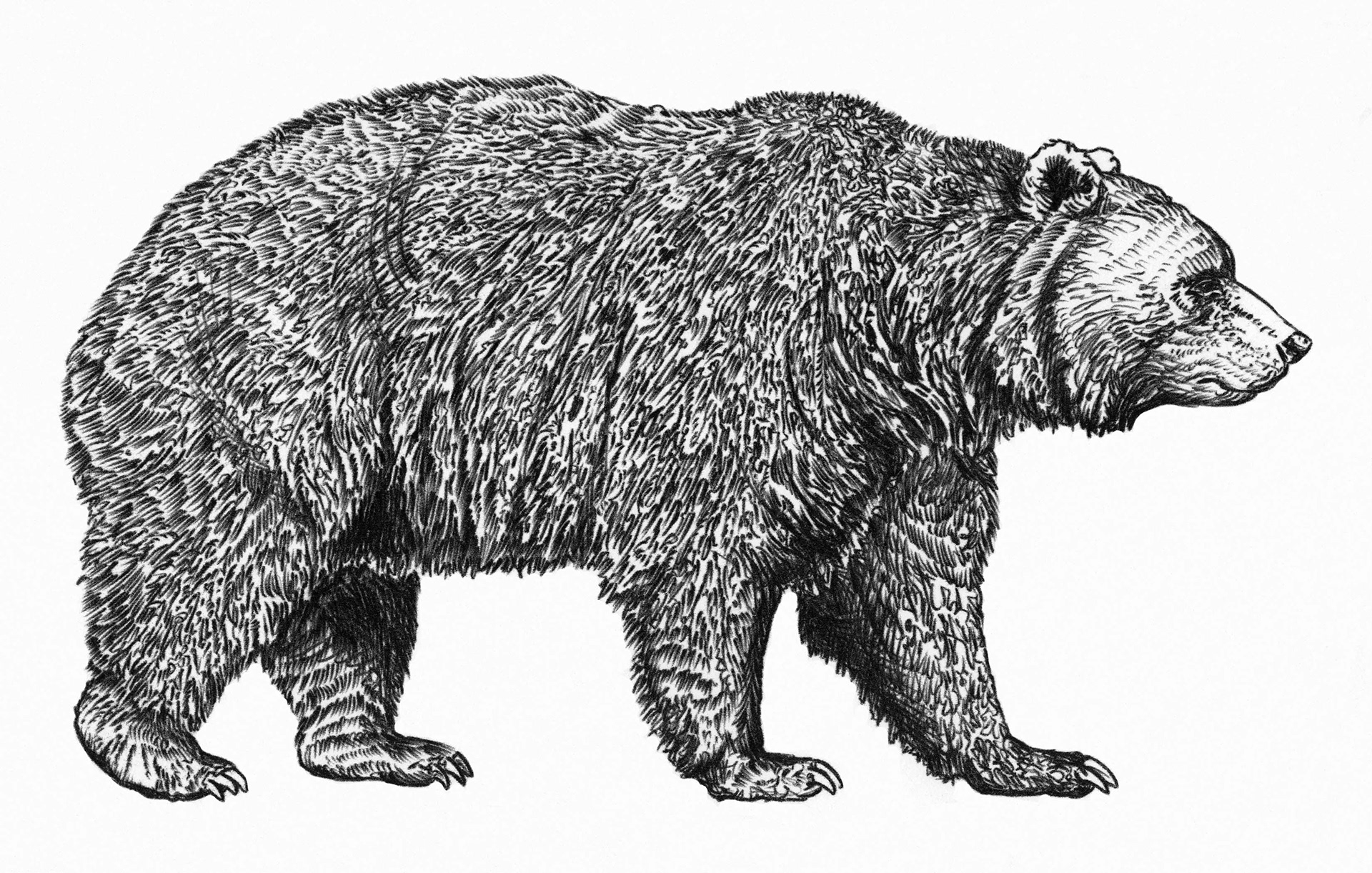 Черно белые картинки медведей