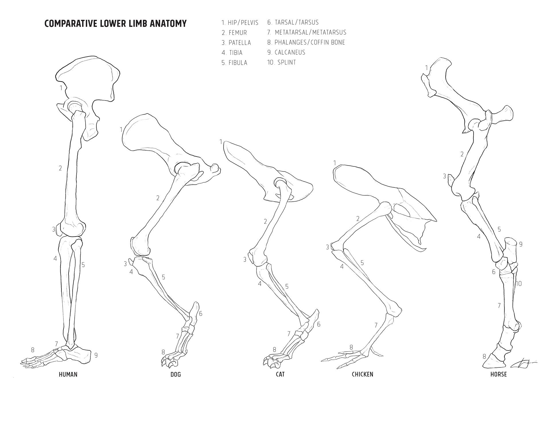 Gabriela Taccir - Comparative Lower Limb Anatomy