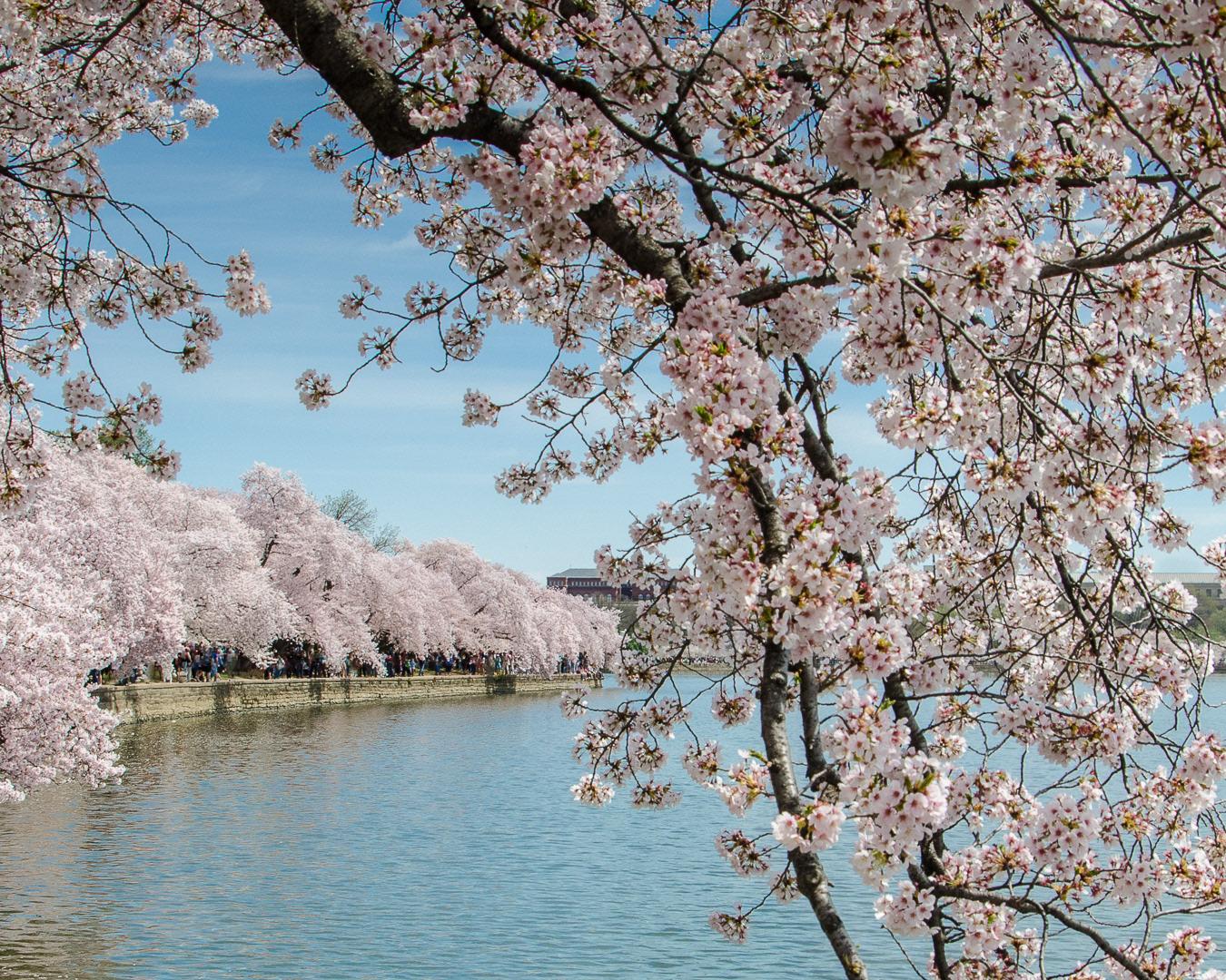 cherry blossom festival - HD1350×1080
